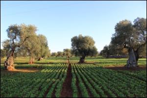 biete-olivi-secolari-puglia