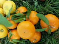 agrumi-biologici-sicilia-cortobio
