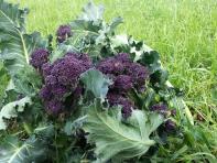 broccolo-rosso-cortobio