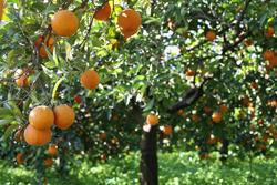arance-di-ribera-dop-chetta-cortobio
