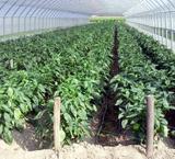 peperoni-biologici-rosso-giallo-coltivazione