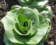 grumolo-verde-radicchio-rosetta