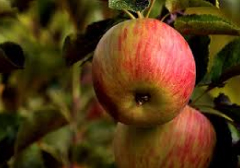 mele-varieta-dallago-cortobio