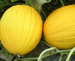 meloni-gialletti-sicilia