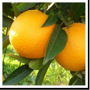 arancia-vaniglia-ribera-cortobio
